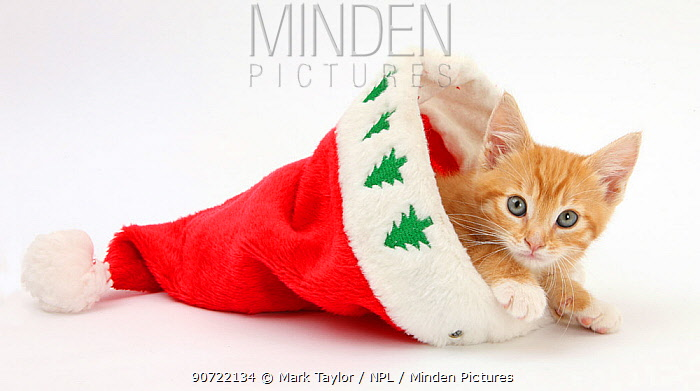 Ginger kitten, age 8 weeks, in Father Christmas hat.