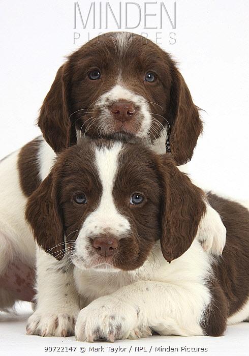Working English springer spaniel puppies, age 6 weeks.