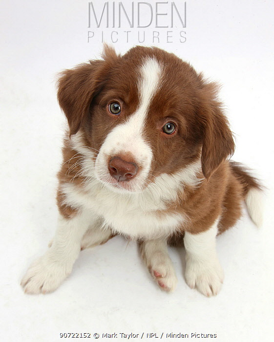 Chocolate Border collie puppy, age 7 weeks looking up.