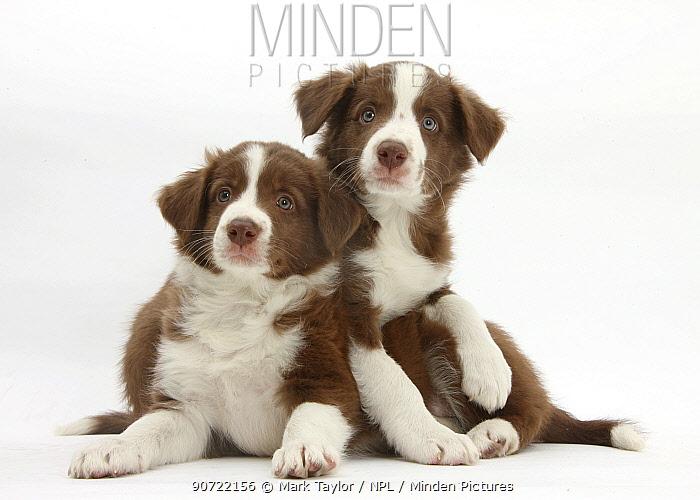 Chocolate Border collie puppies, age 7 weeks.
