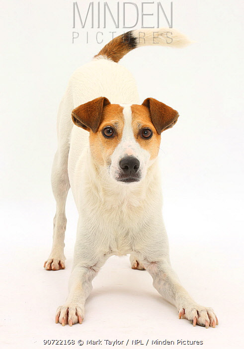 Jack Russell Terrier, Milo, age 5 years, in play-bow stance.
