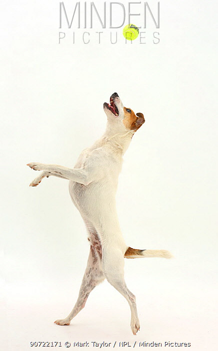 Jack Russell Terrier, Milo, age 5 years, leaping to catch a ball.