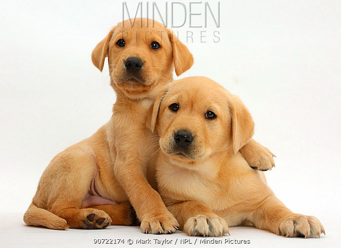 Yellow labrador retriever puppies, age 8 weeks, resting together.