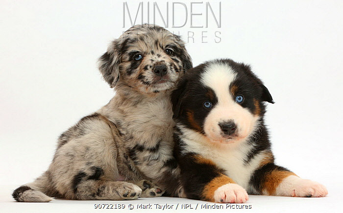 Miniature American shepherd puppies, one merle and one tricolour.