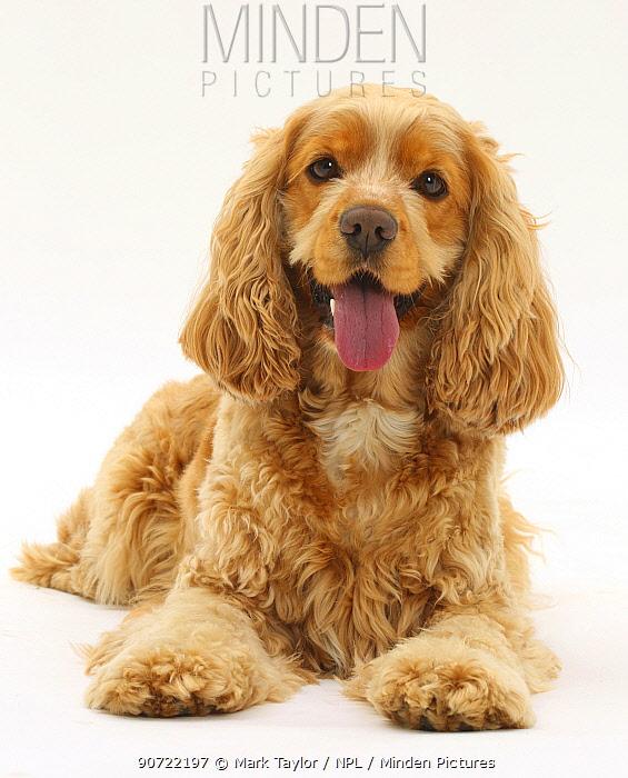 Golden Cocker Spaniel dog, Henry, age 3 years.