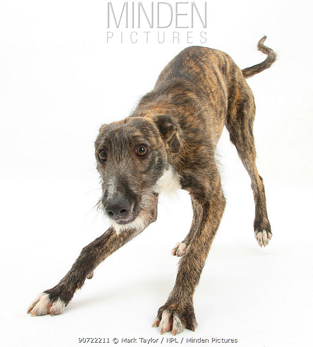 Brindle Lurcher dog, Kite, in play-bow.