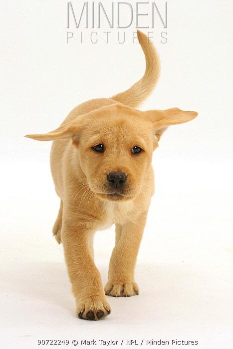 Yellow labrador retriever puppy, age 8 weeks, walking.
