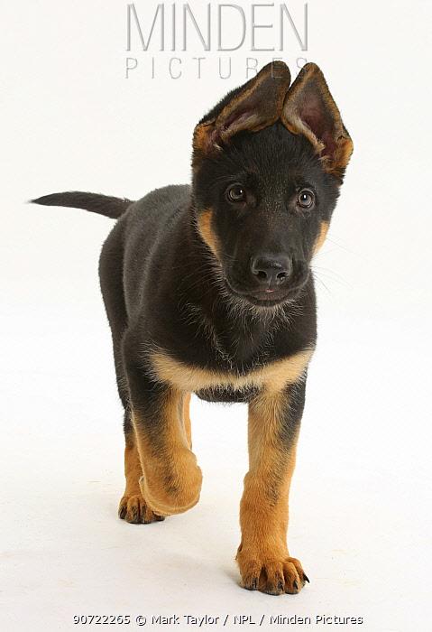 German Shepherd Dog puppy, age 8 weeks, walking.