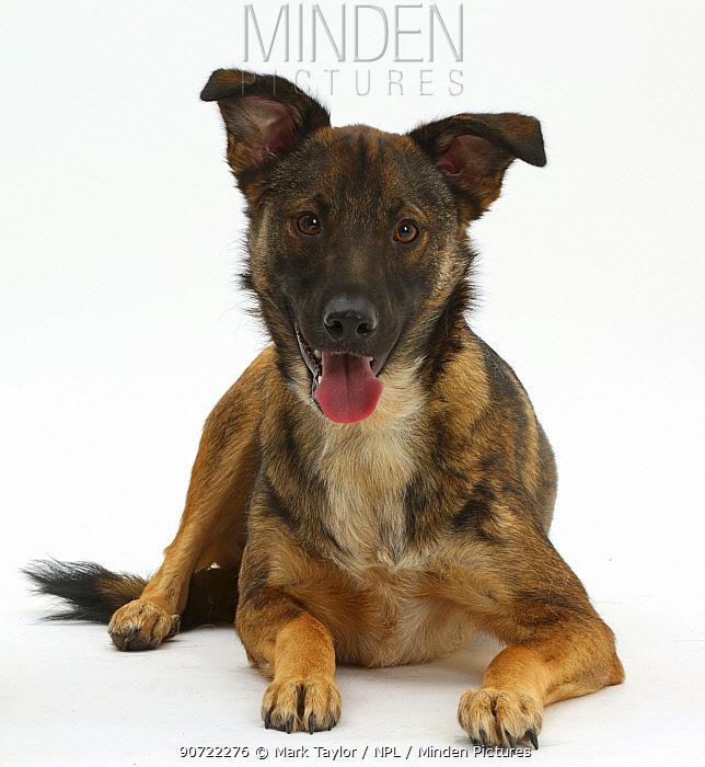 Collie x Shepherd dog, age 1 year.