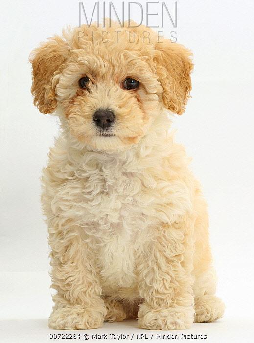 Poochon puppy, Bichon Frise cross Poodle, age 6 weeks.