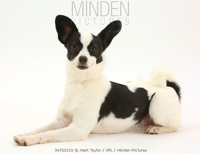 Papillon x Jack Russell Terrier dog, age 20 months.