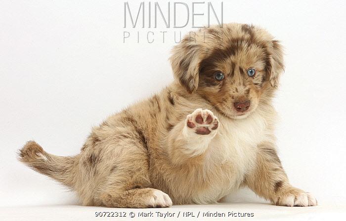 Miniature American shepherd puppy scratching.