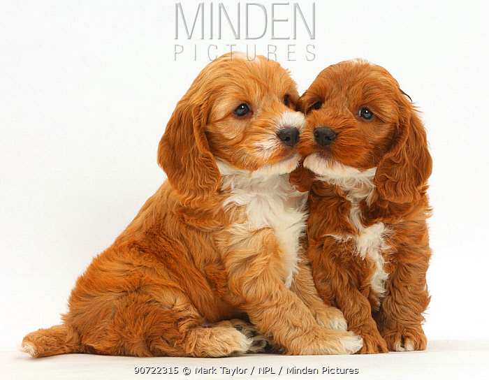 Two Cockapoo puppies, Cocker spaniel cross Poodle.