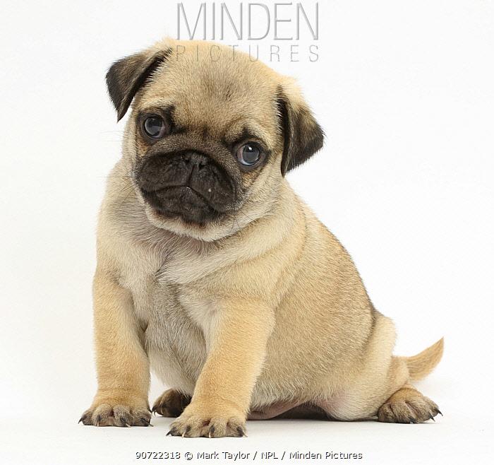 Pug puppy sitting.