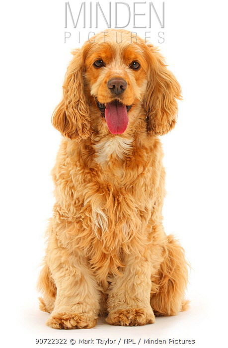 Golden Cocker spaniel dog, Henry, age 3 years, sitting and panting.