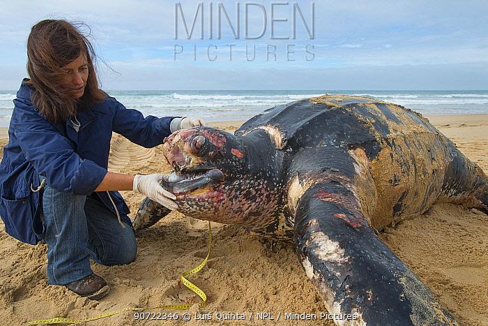 Scientist with Leatherback turtle (Dermochelys coriacea) on beach, Fonte da Telha, Portugal, November 2015.