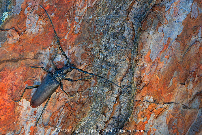 Great capricorn beetle (Cerambyx cerdo) on tree trunk, Arrabida Mountain Range, Portugal, August.