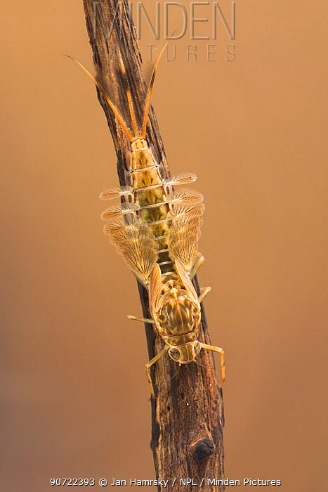 Summer mayfly nymph (Siphlonurus lacustris), Europe, May.  Controlled conditions.