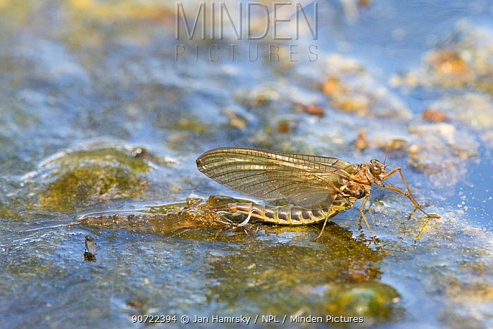Summer mayfly (Siphlonurus lacustris) adult emerging, Europe, May