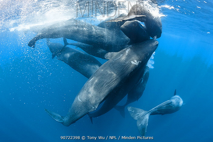 Family of Sperm whales (Physeter macrocephalus) engaged in social activity, rubbing against each other, Indian Ocean, Sri Lanka. March.