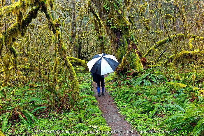 Person with umbrella hiking along the Hoh River Trail in Olympic National Park, Washington, USA, March 2015. Model released.