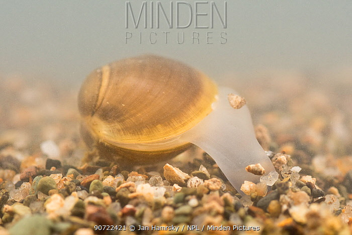 Solid orb mussel (Sphaerium solidum) burrowing into the sand, Europe, July. Controlled conditions.