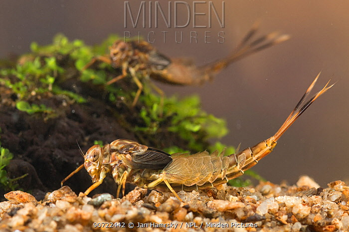 Summer mayfly nymphs (Siphlonurus lacustris), Europe, May.  Controlled conditions.