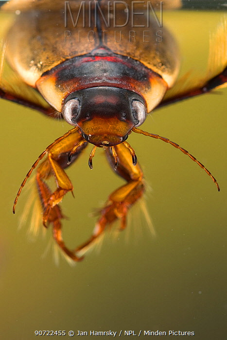 Diving beetle (Colymbetes fuscus) close up head portrait. Europe, June. Controlled conditions.