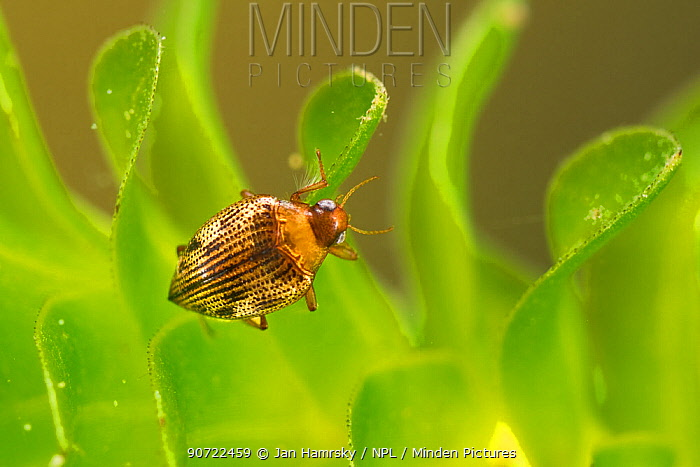 Diving beetle (Haliplus ruficollis), Europe, June.  Controlled conditions.