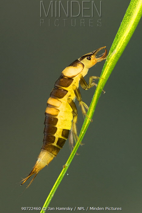 Diving beetle larva (Hyphydrus ovatus), Europe, June.  Controlled conditions.