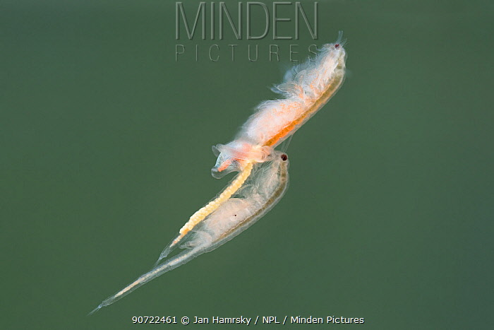 Brine shrimps or monkey shrimps (Artemia salina) mating.  Controlled conditions.