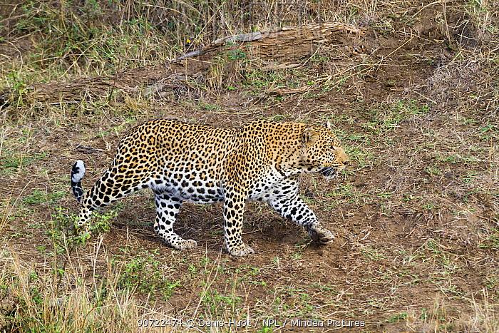 Leopard (Panthera pardus), male walking, Masai Mara, Kenya.