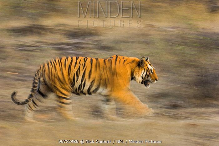 Male Bengal tiger (Panthera tigris tigris) known as 'Sundar' (B2) patrolling territory, Bandhavgarh National Park, Madhya Pradesh, India. Endangered species.