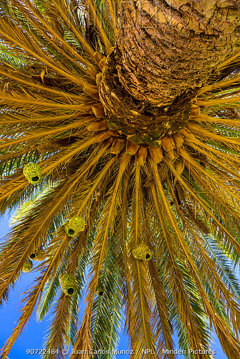 Masked weaverbird (Ploceus velatus) nests in palm tree, Namaqualand, Northern Cape province, South Africa, September 2012.