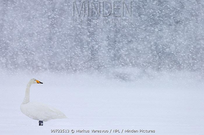 Whooper Swan (Cygnus cygnus) standing in snowfall,Hokkaido, Japan, February