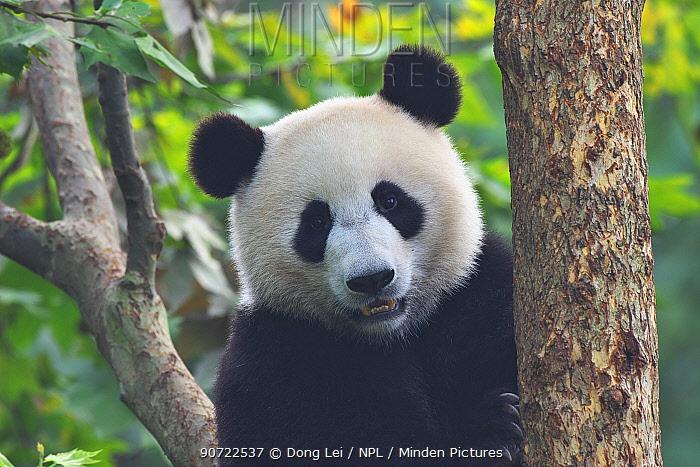 Giant panda (Ailuropoda melanoleuca) portrait, captive at Chengdu Research Base of Giant Panda Breeding, Chengdu City, Sichuan Province, China.
