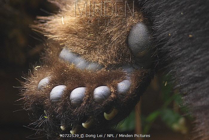 Giant panda (Ailuropoda melanoleuca) close up of paw showing sixth toe, Chengdu Research Base of Giant Panda Breeding, Chengdu City, Sichuan Province, China.