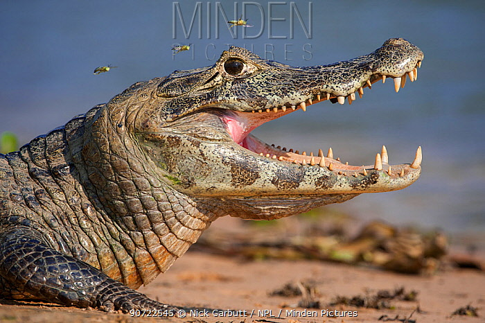 Yacare Caiman (Caiman yacare) gaping to regulate its body temperature, with attendant hoverflies, the Paraguay River, Taiama Reserve, western Pantanal, Brazil, South America.