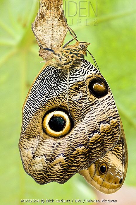 Owl-eye Butterfly (Caligo sp), Amazonia, Ecuador, South America.