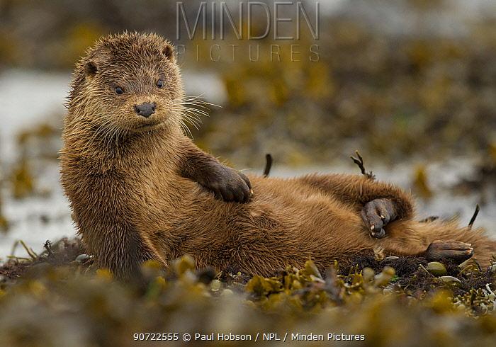 Otter (Lutra lutra) female grooming in seaweed, Mull, Scotland, England, UK, September.