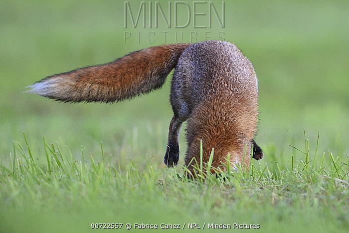 Red fox (Vulpes vulpes) pouncing on prey, Vosges, France, September.