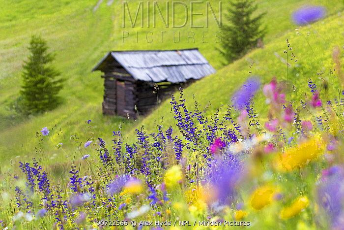 Wildflowers and hut in alpine meadow, Nordtirol, Austrian Alps, July.