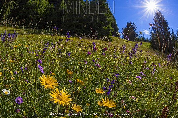 Alpine meadow, Nordtirol, Austrian Alps, July 2014.