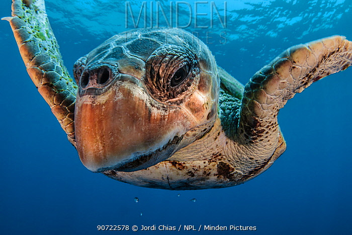 Loggerhead turtle (Caretta caretta) close up, Los Gigantes, South Tenerife, Canary Islands, Atlantic