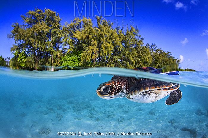 Juvenile Green turtle (Chelonia mydas) swimming near the surface, split level view, Fakarava atoll lagoon, Tuamotu Archipelago, French Polynesia, Pacific Ocean.