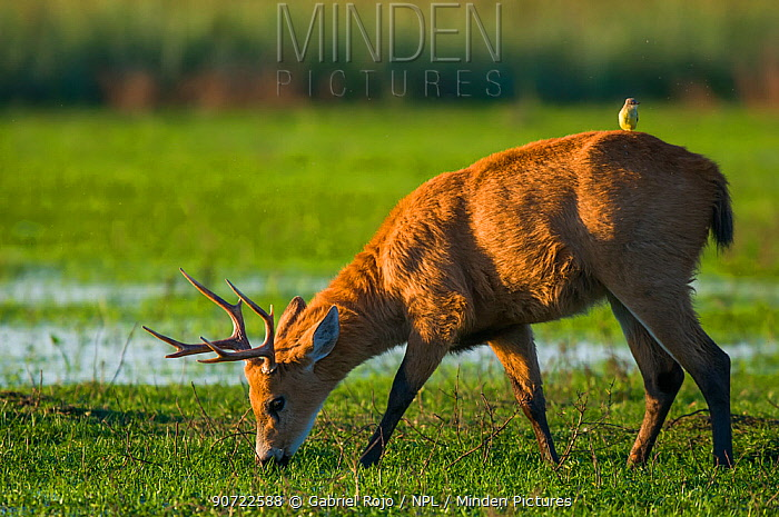 Marsh deer (Blastocerus dichotomus) male with Cattle tyrant  (Machetornis rixosus) on back, Ibera Marshes, Corrientes Province, Argentina.