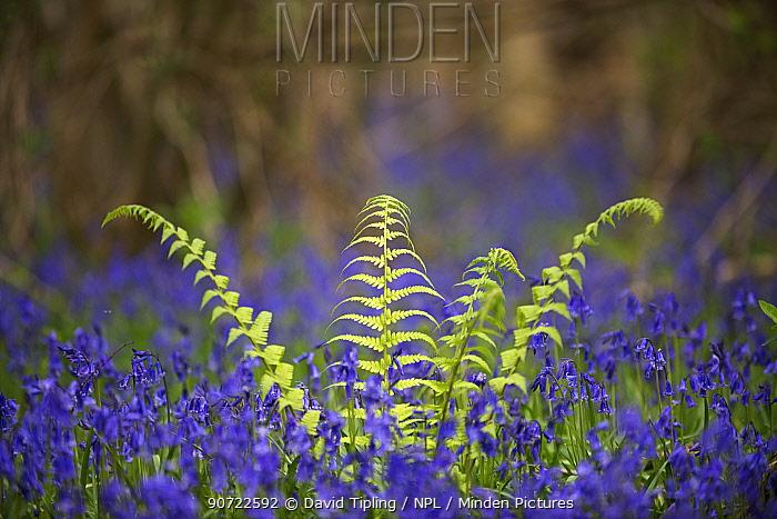 Fern growing among Bluebells (Hyacinthoides non-scripta) Foxley Wood, Norfolk, UK, April.
