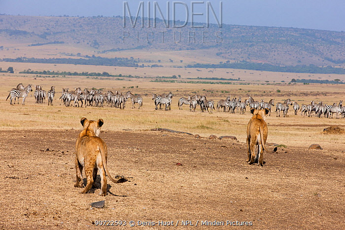 Two African lionesses (Panthera leo) hunting a herd of zebra near a water hole during the dry season, Masai-Mara Game Reserve, Kenya. February.