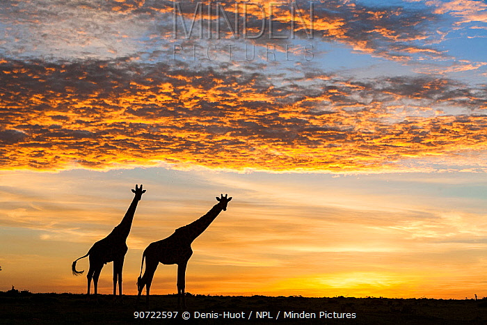 Masai giraffes (Giraffa camelopardalis tippelskirchi), at sunrise, Masai-Mara Game Reserve, Kenya. March.