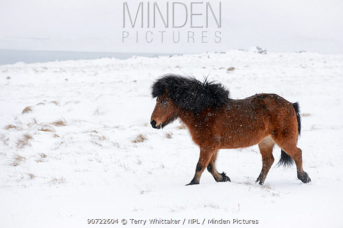 Bay Icelandic horse trotting in the snow, Snaefellsnes Peninsula, Iceland, March.